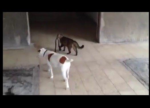 犬のリードを引いて家に連れて帰るネコ