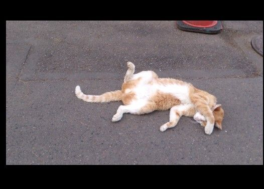 アスファルトの温もりにやられてしまったネコ