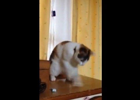 変な踊りをする猫