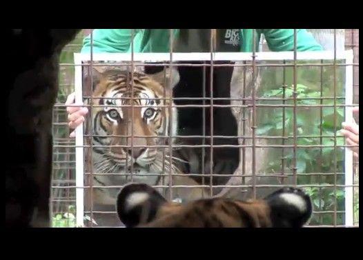小さな猫から大きな猫まで鏡を見せて反応を比べてみた