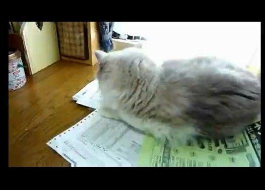 どかない攻撃→モフって攻撃何が何でも邪魔する猫