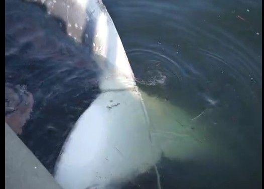 東京湾で見つかったクジラの死骸