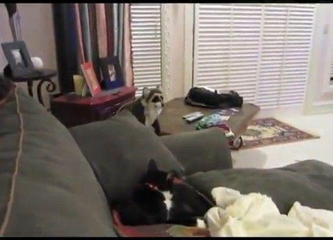 【猫】ネコにアライグマをけしかけてみた