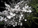 夜桜 006