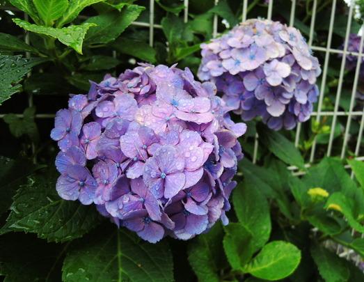 (紫陽花)