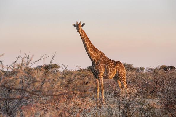 giraffe-5800387_960_720