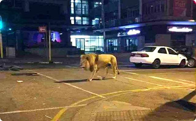 ライオンが脱走