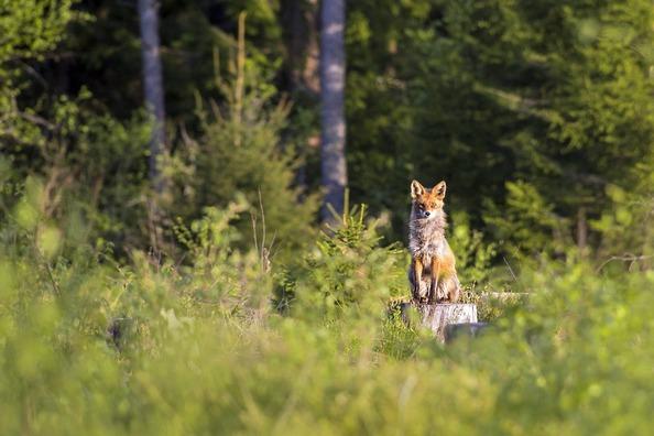 red-fox-4808560_1920