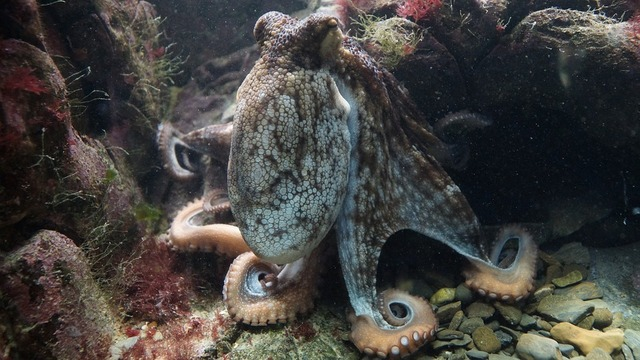 octopus-428745_960_720