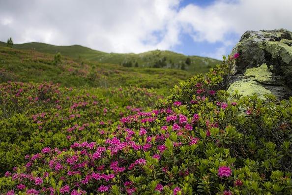 alpine-rose-3143376_960_720