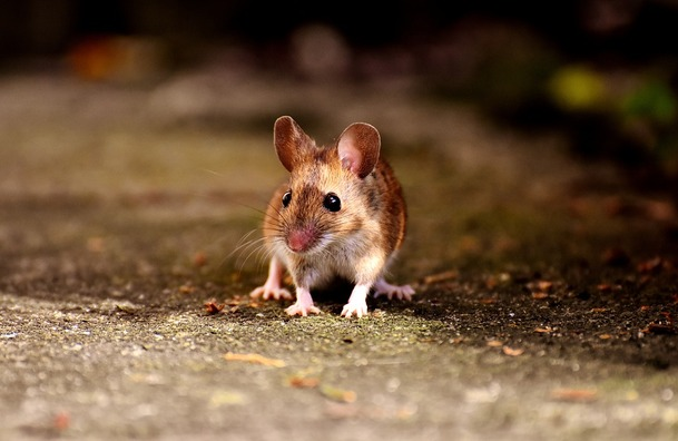 mouse-2308357_960_720