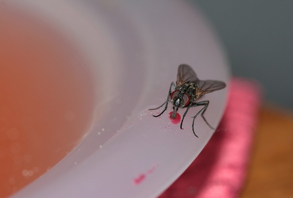 common-house-fly-328648_960_720