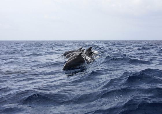 dolphin-402288_960_720