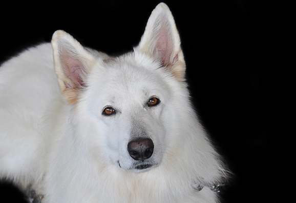 schafer-dog-2669660_960_720