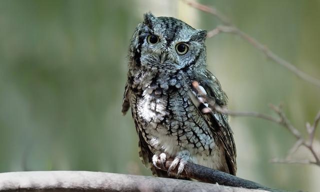 eastern-screech-owl-3526934_1920