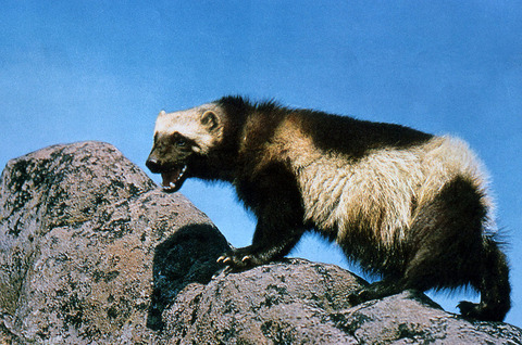 1024px-Wolverine_on_rock