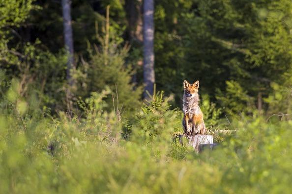 red-fox-4808560_960_720