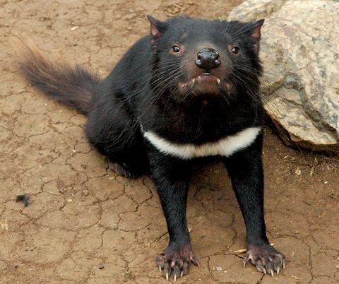 Tasmanian_devil_head_on