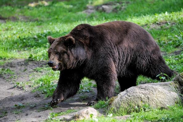 brown-bear-4859243_960_720