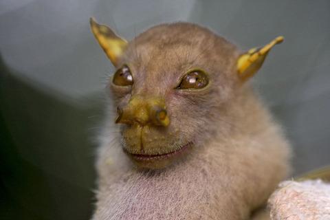 マダガスカルフルーツコウモリ