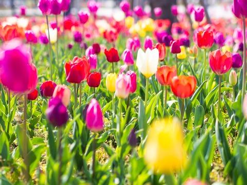tulip-4134457_1920