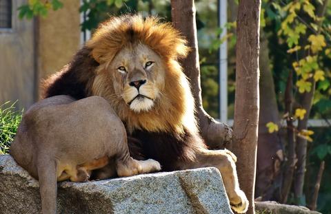 lion-2871846_1920