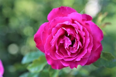 rose-4471853_1280