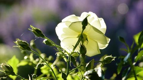 rose-4287600_1280