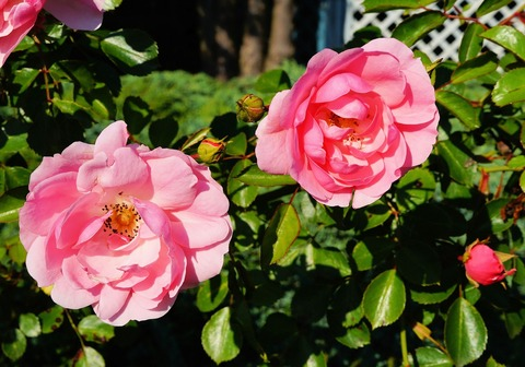 roses-363676_1280