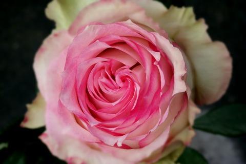 rose-511904_1920