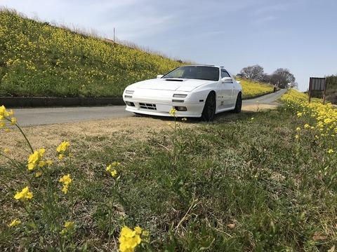 からし菜畑と桜(春ですね)