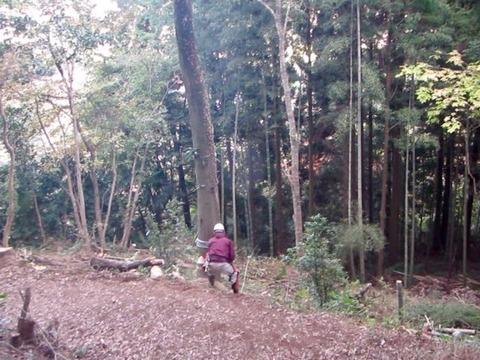 枯れカシ伐木