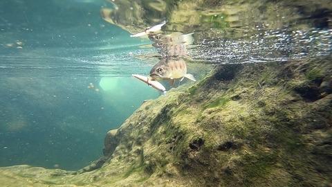 Dコンとモルフォシングルフック水中山女魚