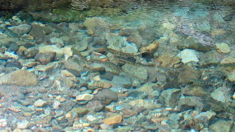 水中の山女魚1_20200823