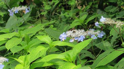 20200726紫陽花と蜂