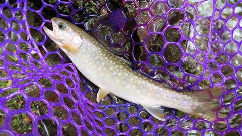 20200516岩魚2