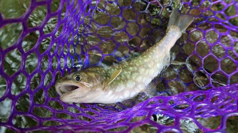 ランディングネットと魚