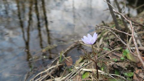 渓流の花_20210403_2