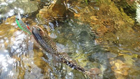 20190824岩魚