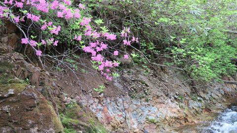 20200516渓流の花