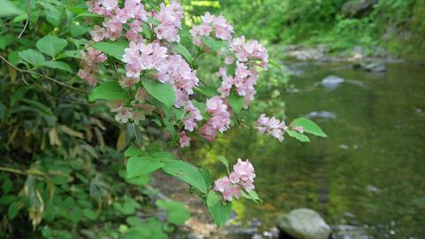 20200606渓流の植物2