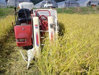自然米の収穫
