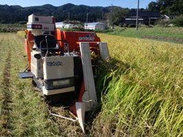 お米の刈り取り