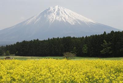 富士山_1585芝桜・菜の花・茶畑
