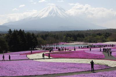 富士山_1537芝桜・菜の花・茶畑