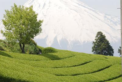 富士山_1591芝桜・菜の花・茶畑