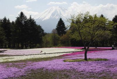 富士山_1552芝桜・菜の花・茶畑