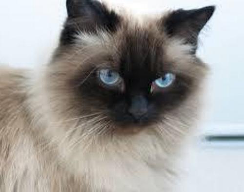 【2ch犬・猫】ヒマラヤンの性格と可愛い画像