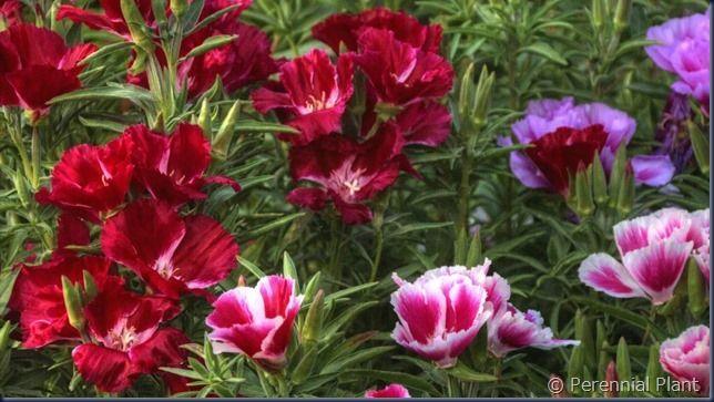 楽美苑のゴデチア