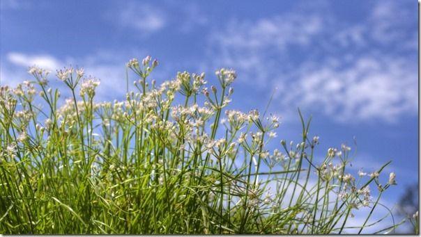 白花イトラッキョウ